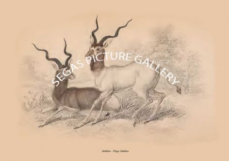 Fine art print of the Addax - Oryx Addax by Sir William Jardine(1835)